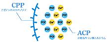 歯の再石灰化と強化/MIペーストCPP-ACP
