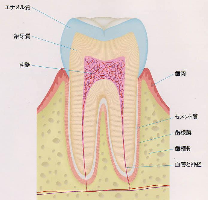 歯と歯茎の構造