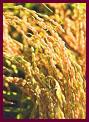 歯槽膿漏,歯周病,口臭改善サプリメント玄米