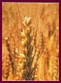 歯槽膿漏,歯周病,口臭改善サプリメント小麦胚芽