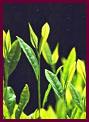 歯槽膿漏,歯周病,口臭改善サプリメント緑茶