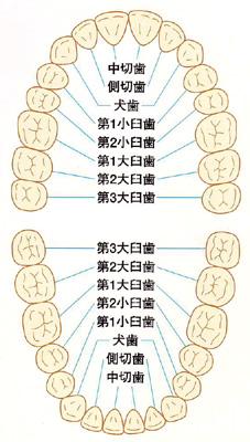 歯の種類と番号図
