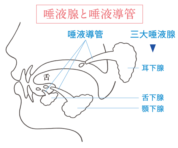 歯周病治療機器サリオーラ唾液腺図