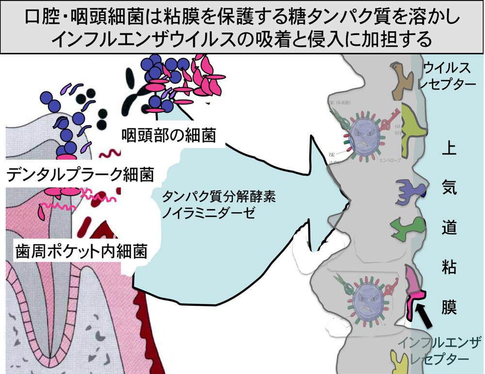 新型コロナウイルス/感染重症重篤化予防/口腔ケア/歯科オーラルケアア図3